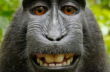 Este famoso selfie que se hizo un macaco pertenece al dominio público