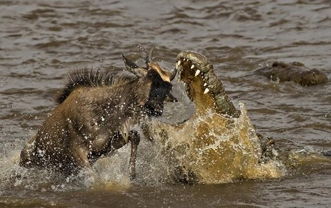 Depredadores cazando a sus presas