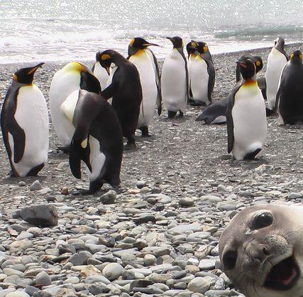 Una cría de foca chupando cámara