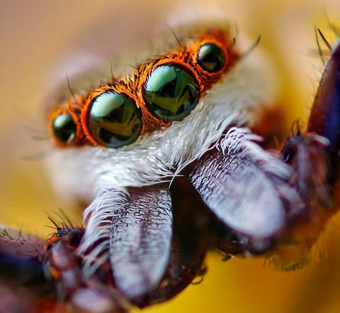 Ojos Araña