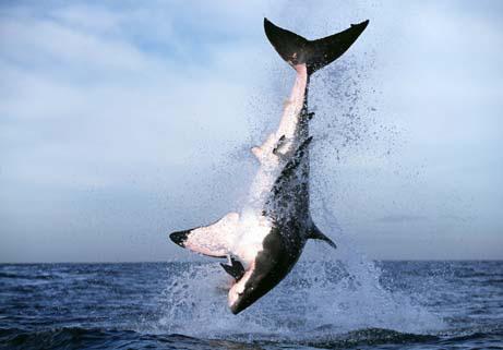Los tiburones blancos voladores de False Bay