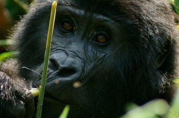 El virus del ébola ha matado a un tercio de los gorilas y chimpancés