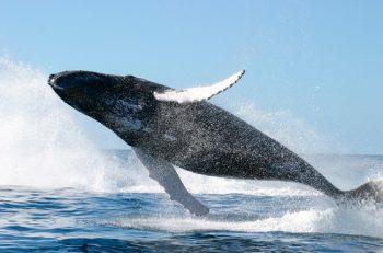 La industria pesquera ha cazado 2,9 millones de ballenas en el último siglo